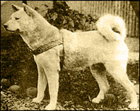 Hachiko stuffed